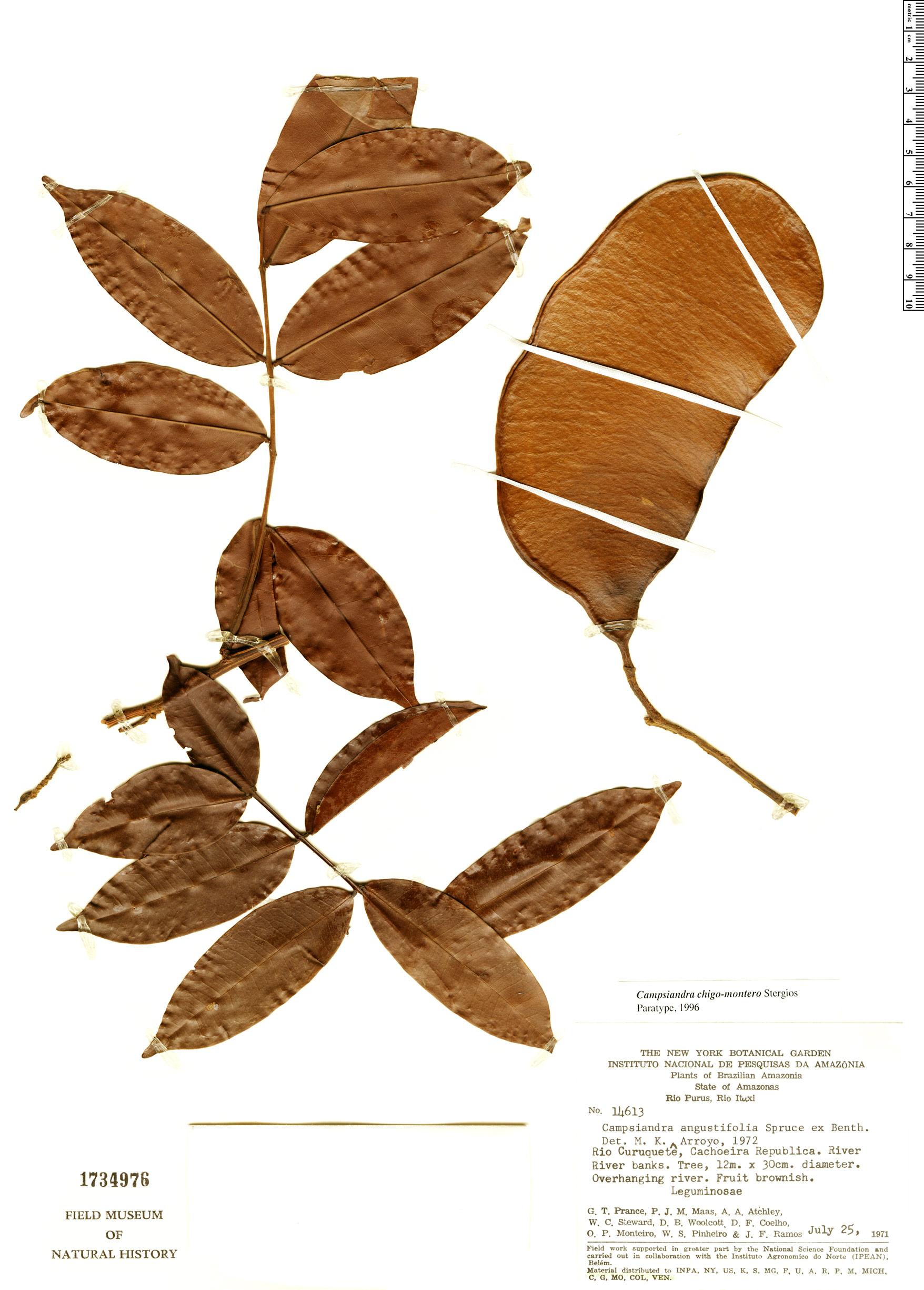 Specimen: Campsiandra chigo-montero