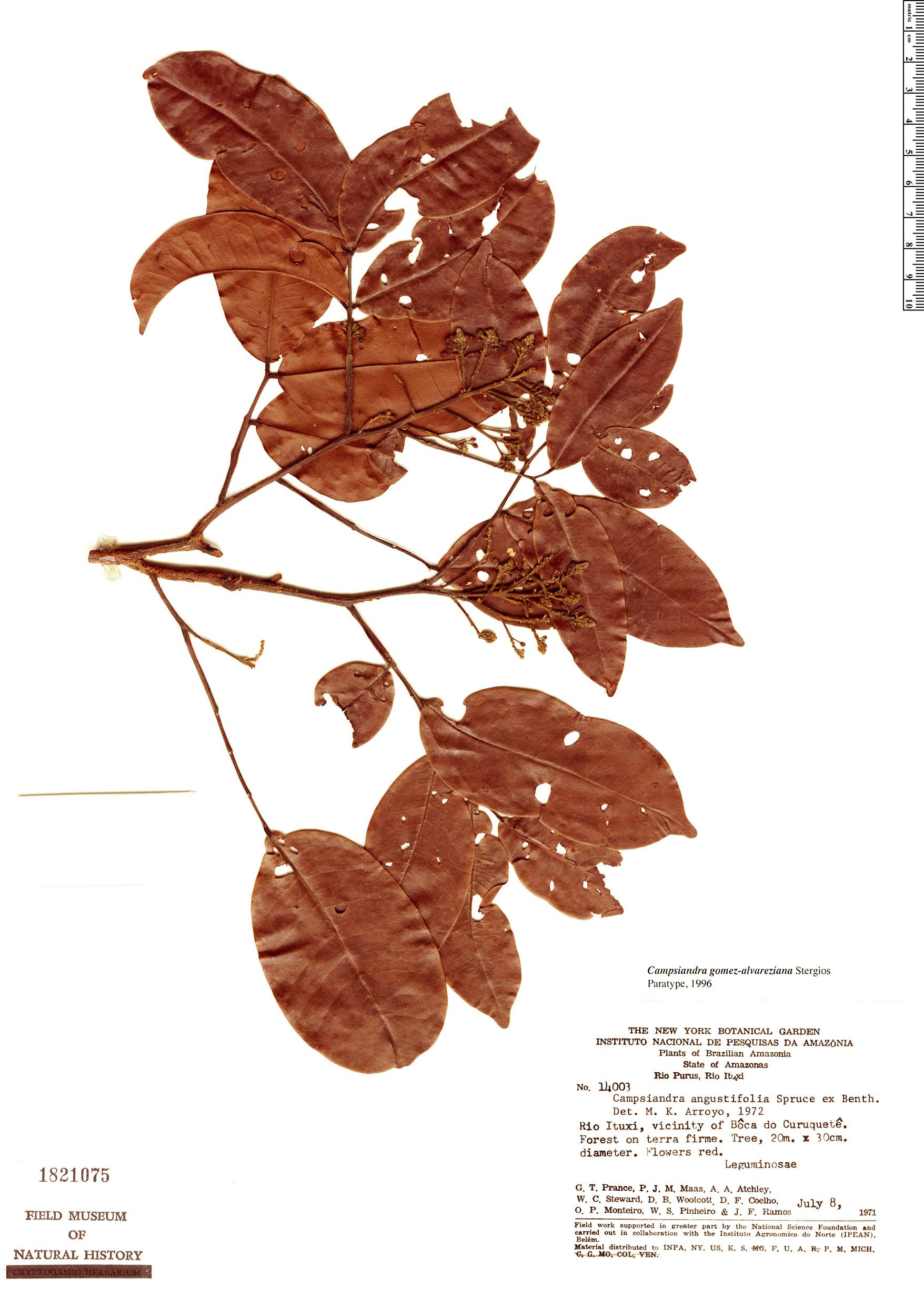 Specimen: Campsiandra gomez-alvareziana