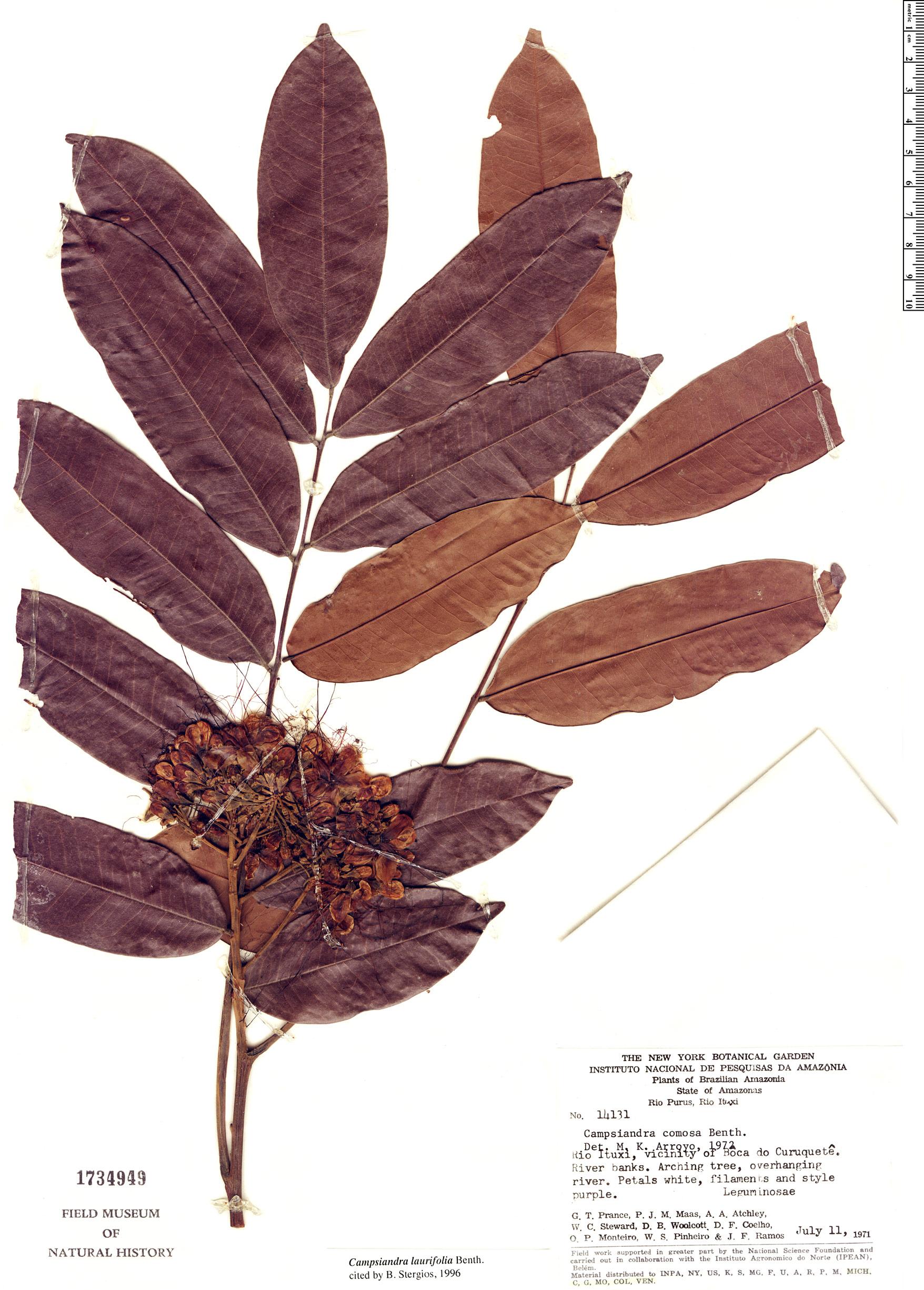 Specimen: Campsiandra laurifolia