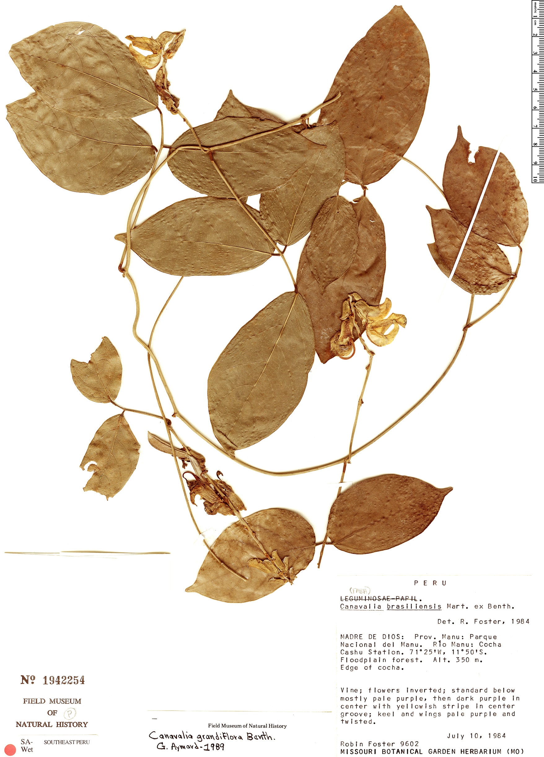 Specimen: Canavalia grandiflora