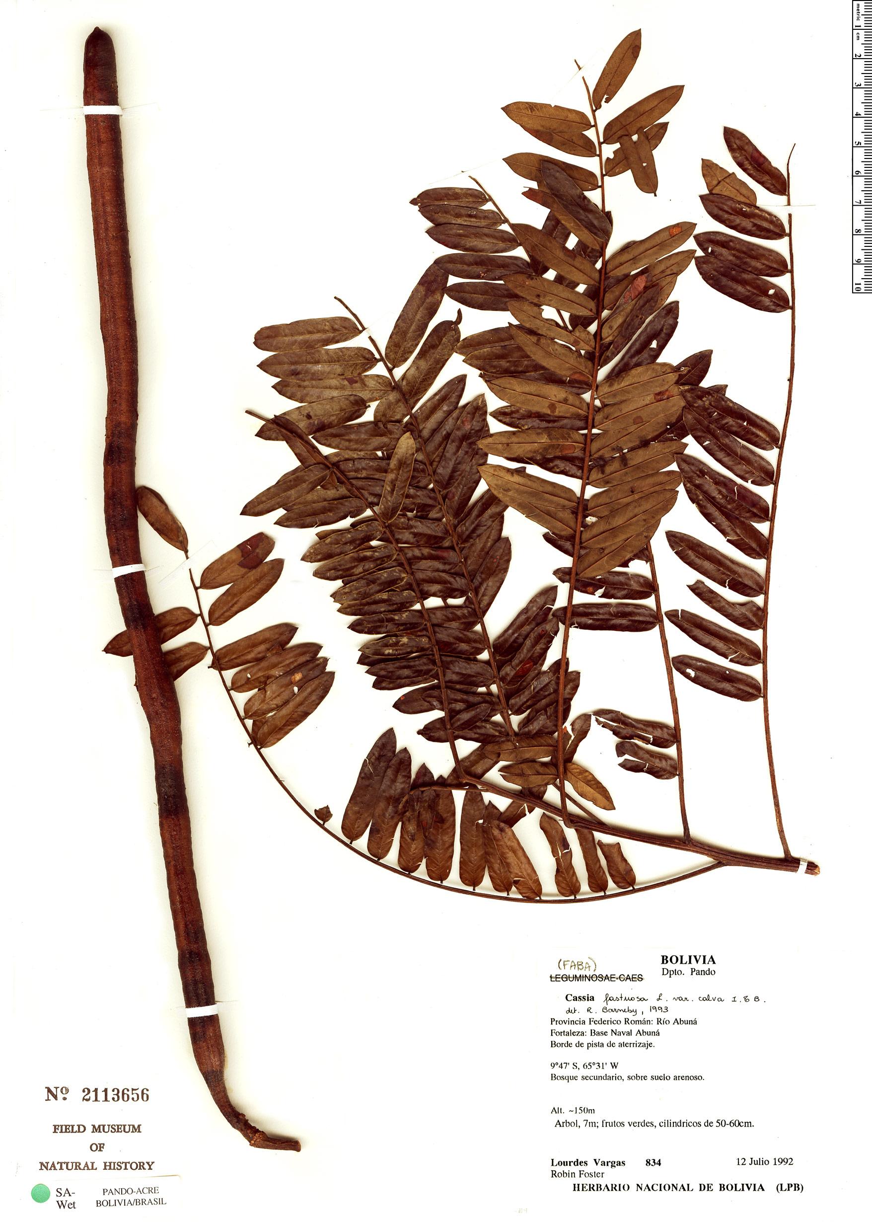 Specimen: Cassia fastuosa