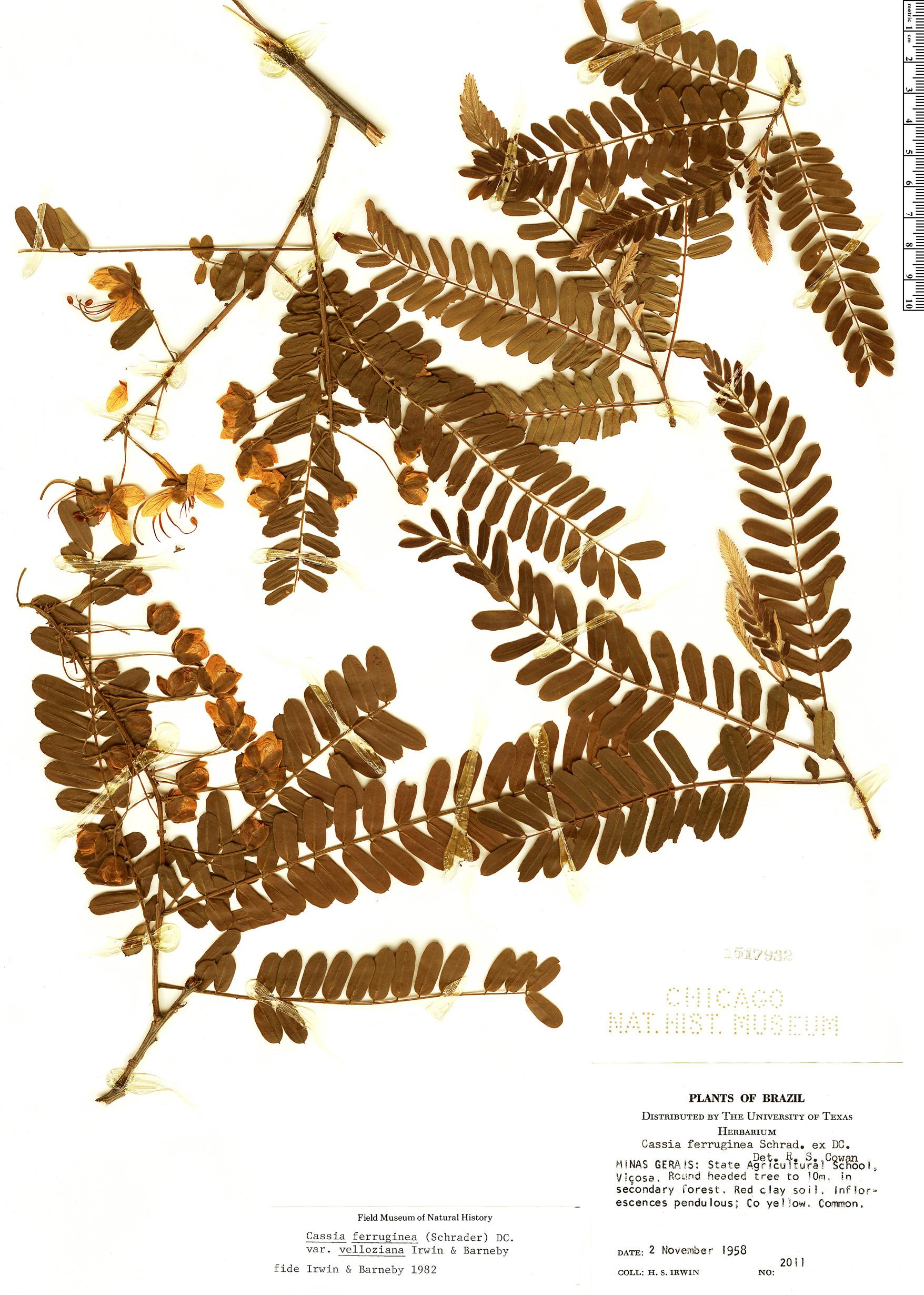 Specimen: Cassia ferruginea