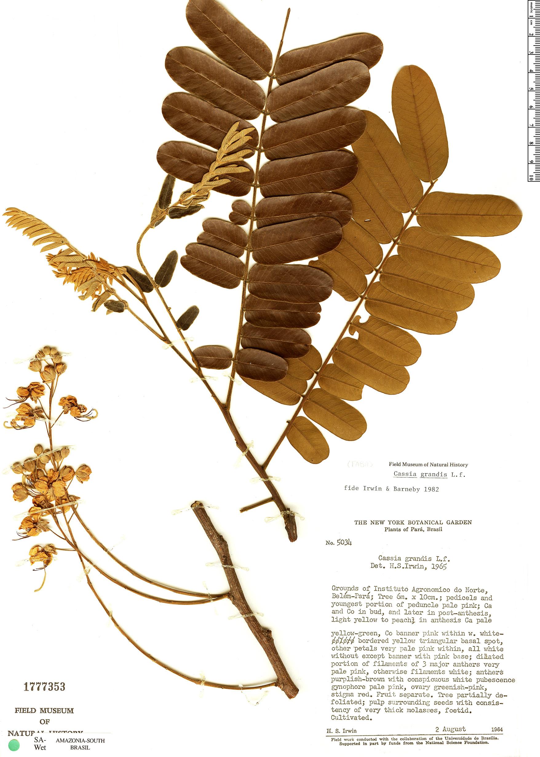 Specimen: Cassia grandis