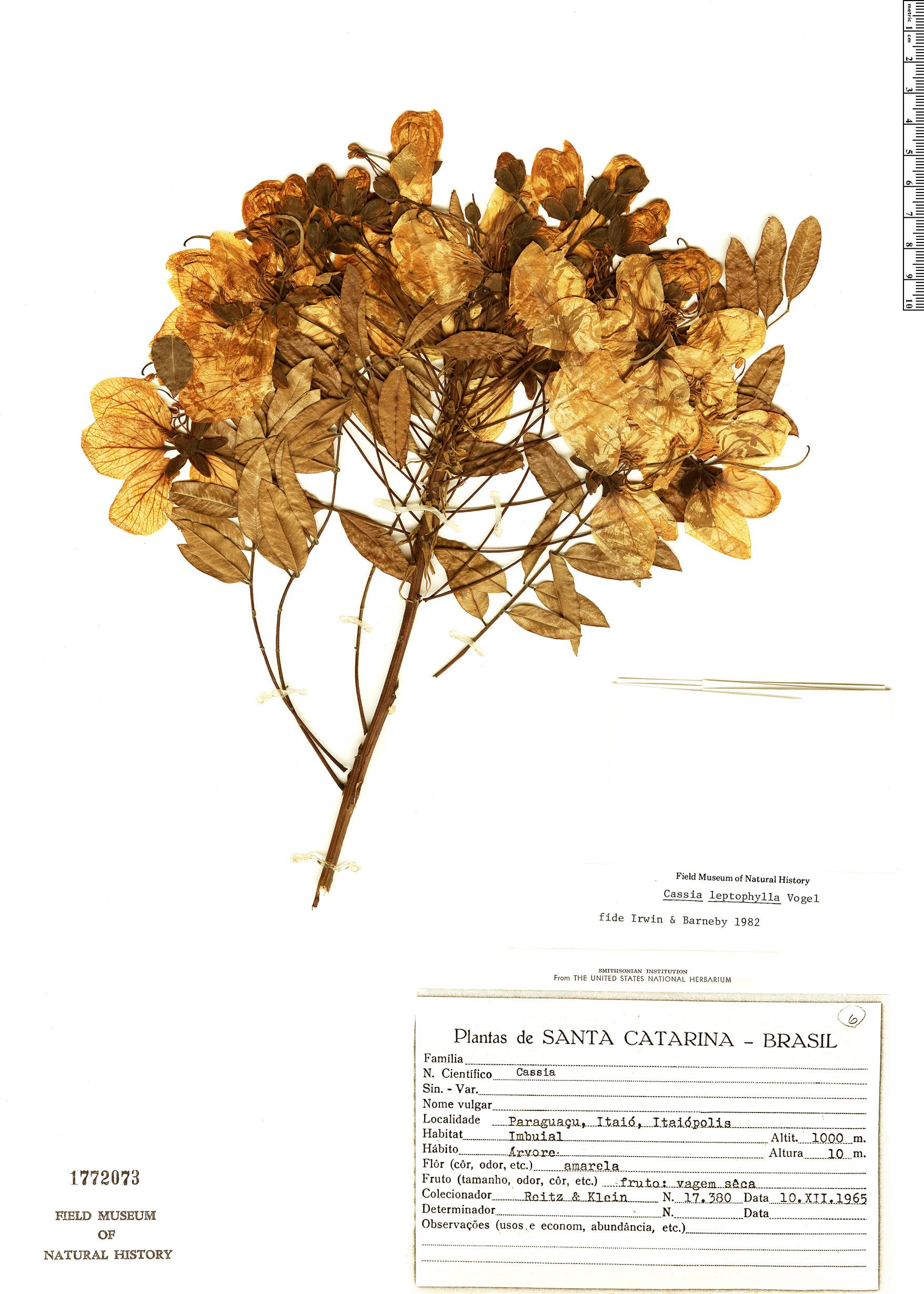 Specimen: Cassia leptophylla