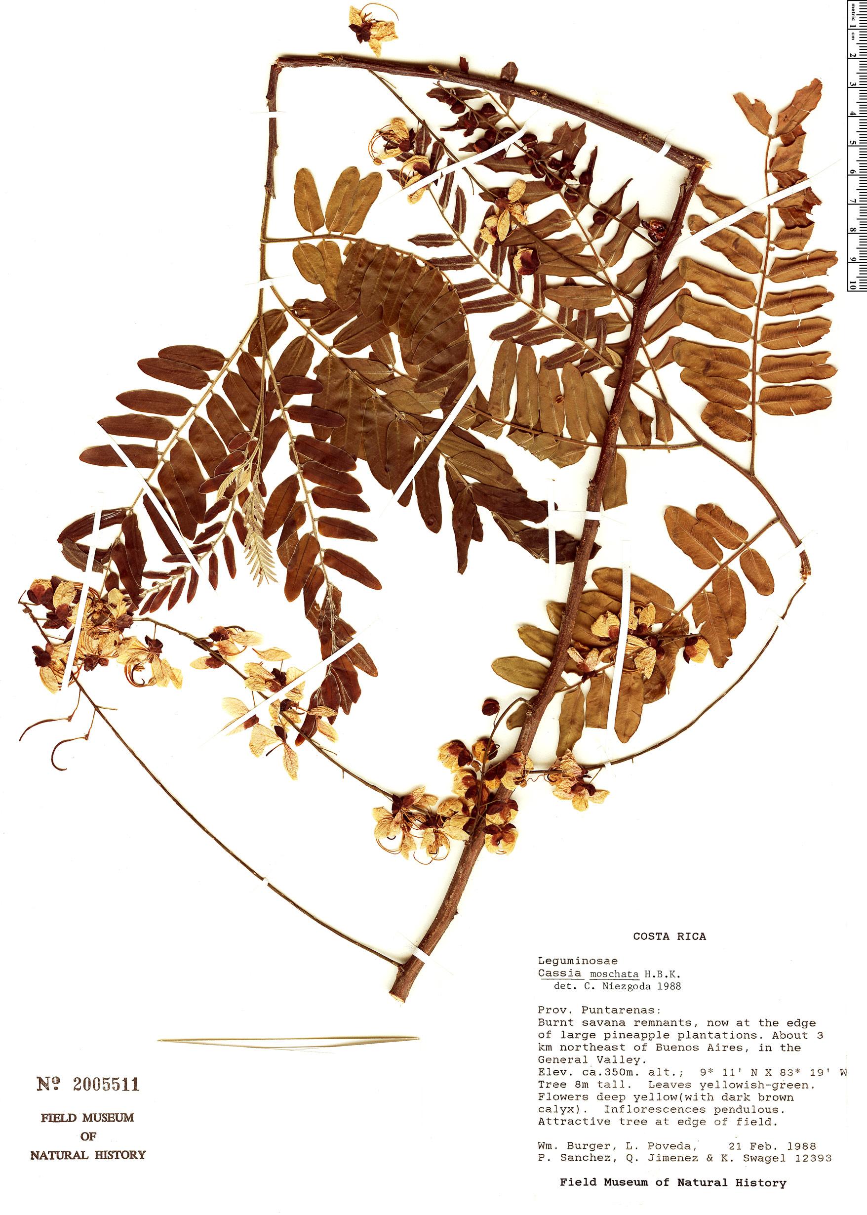 Specimen: Cassia moschata