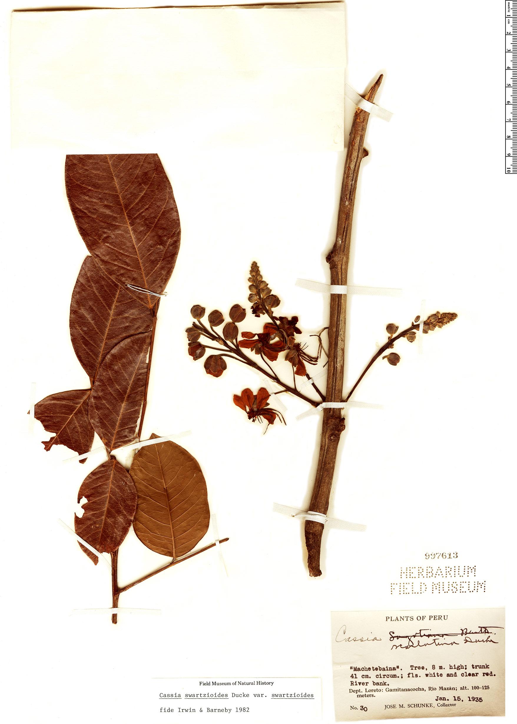 Specimen: Cassia swartzioides
