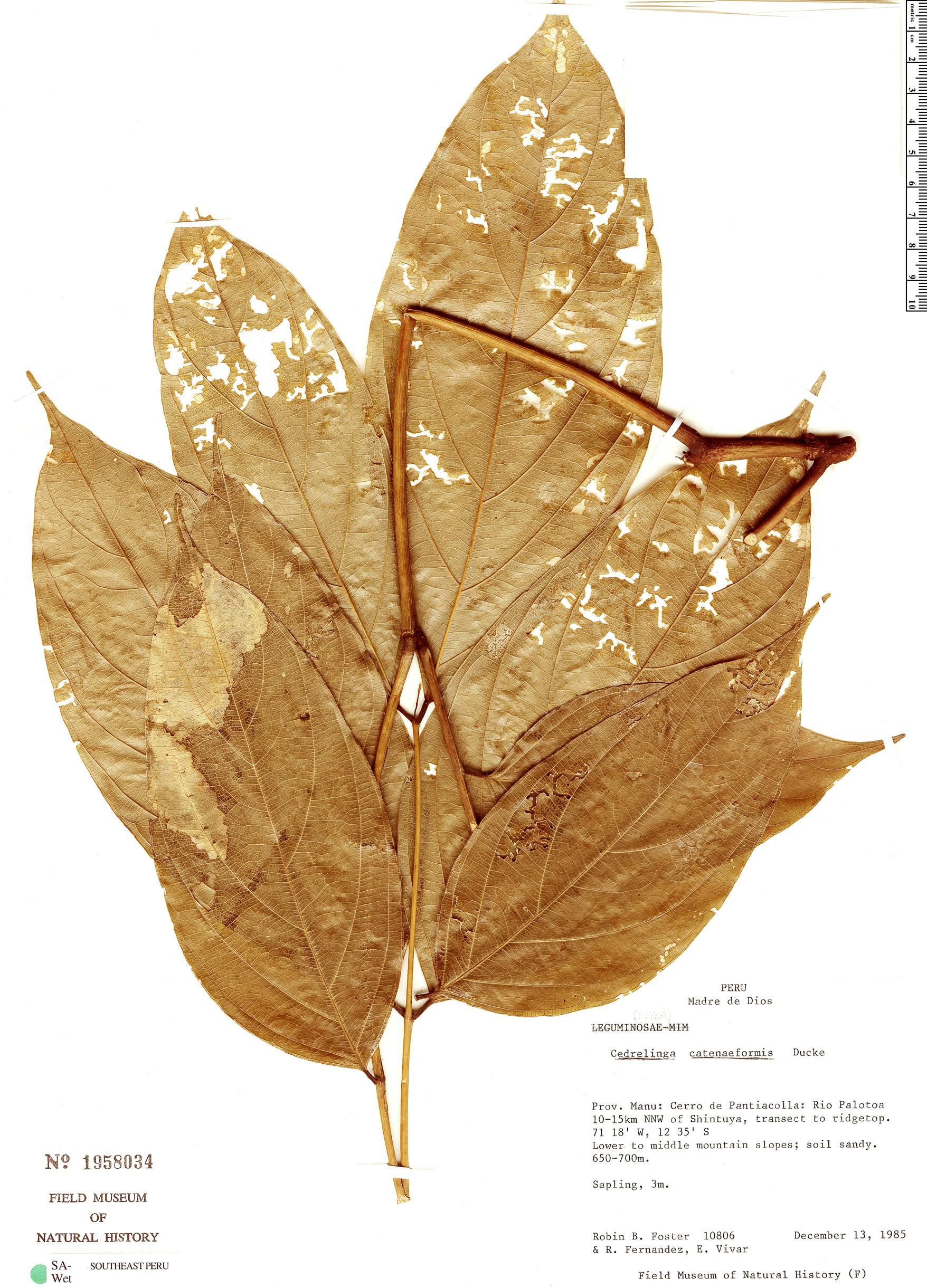 Specimen: Cedrelinga cateniformis