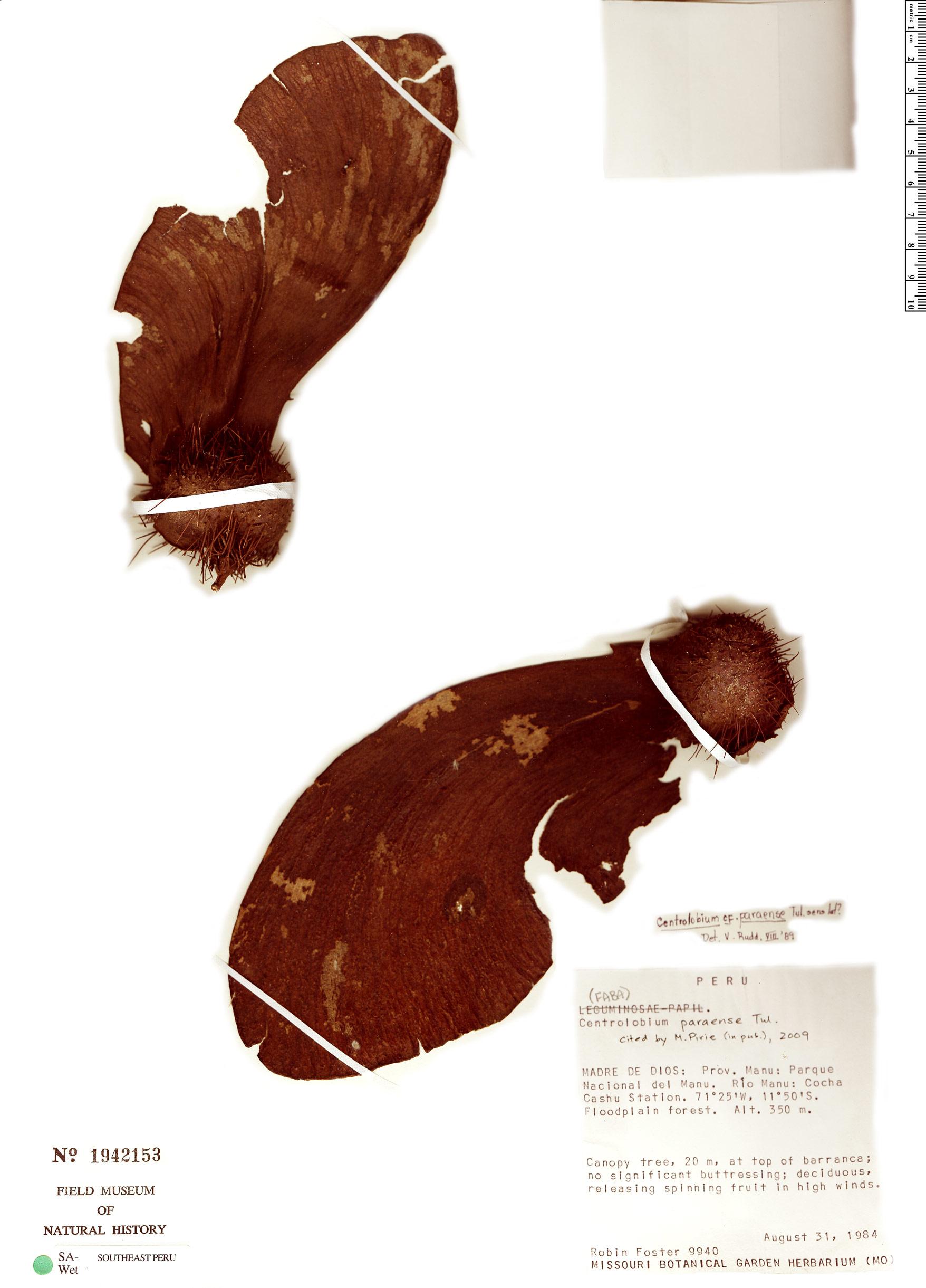 Specimen: Centrolobium paraense