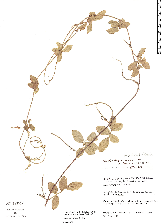 Specimen: Chaetocalyx scandens