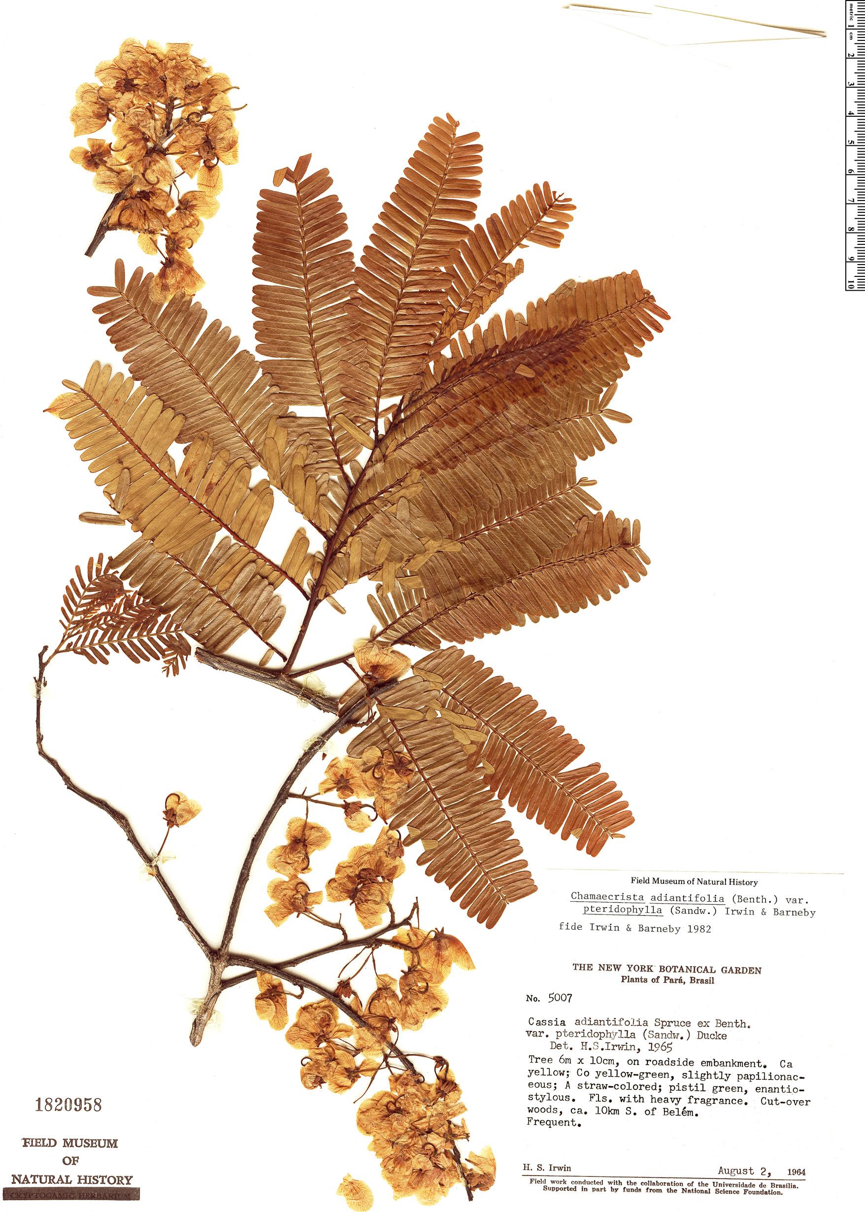 Specimen: Chamaecrista adiantifolia