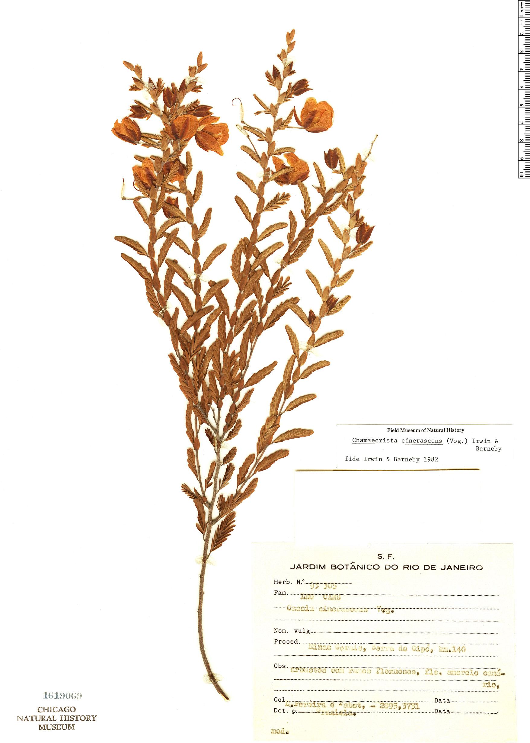 Specimen: Chamaecrista cinerascens