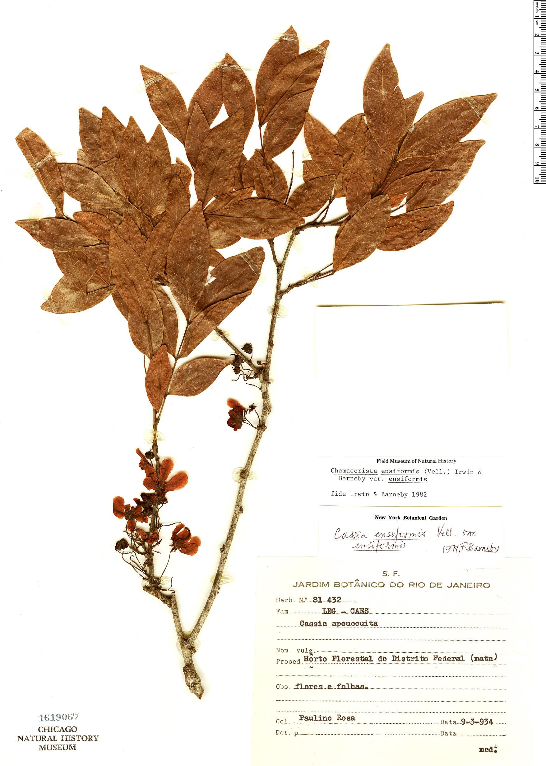 Specimen: Chamaecrista ensiformis