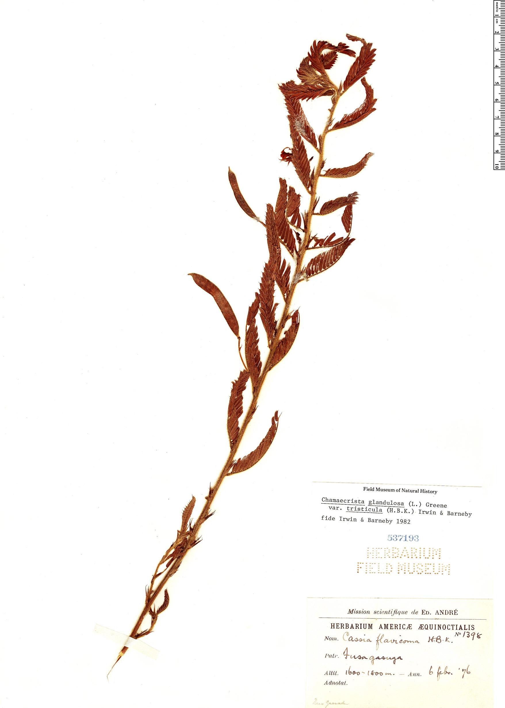 Espécimen: Chamaecrista glandulosa