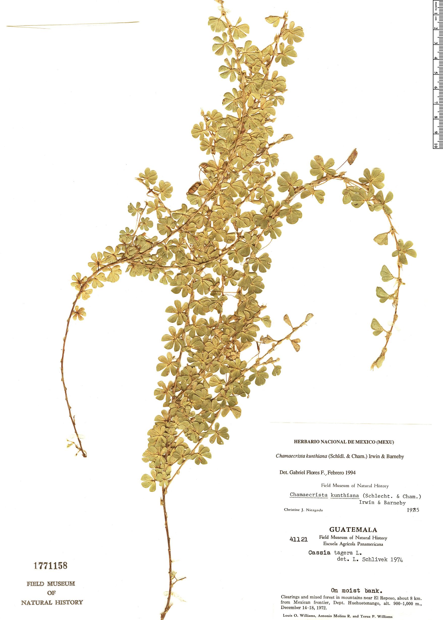 Specimen: Chamaecrista kunthiana