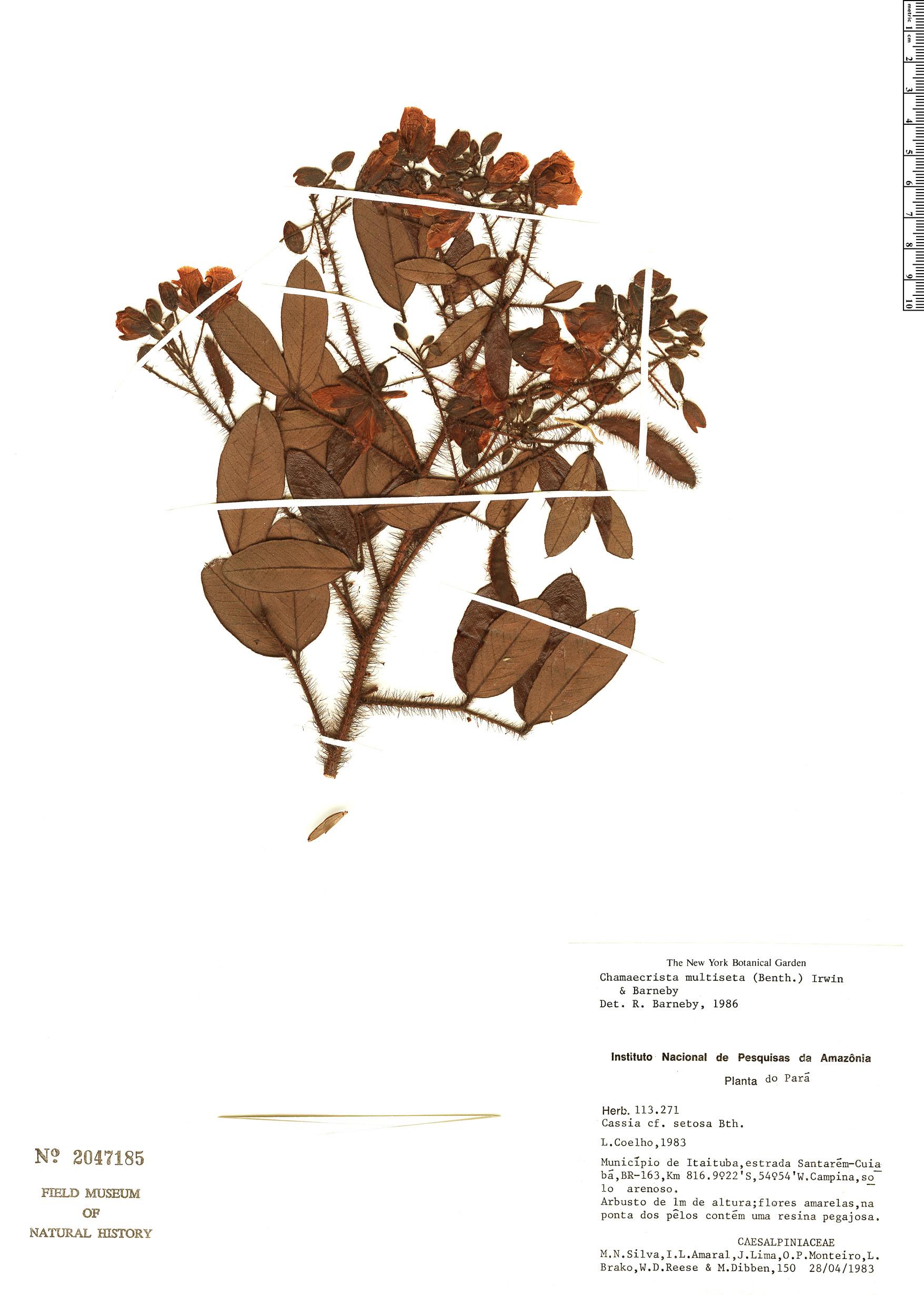 Specimen: Chamaecrista multiseta