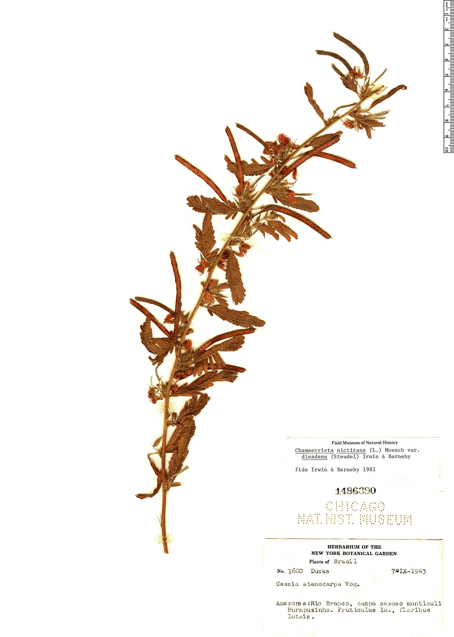 Specimen: Chamaecrista nictitans