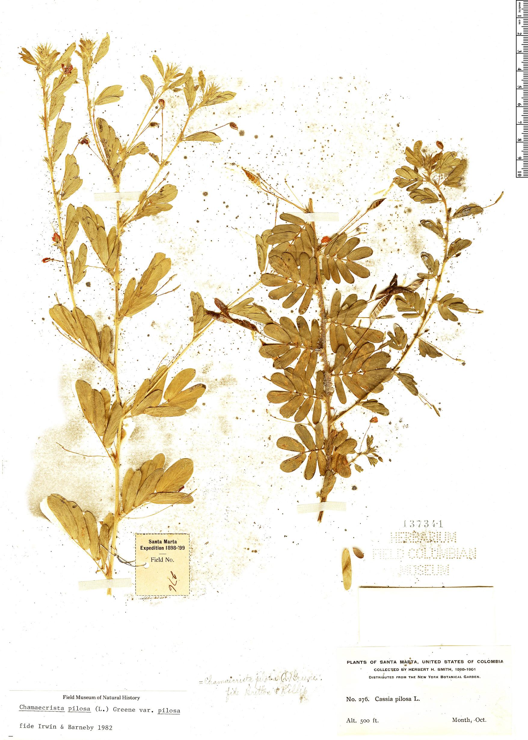 Specimen: Chamaecrista pilosa