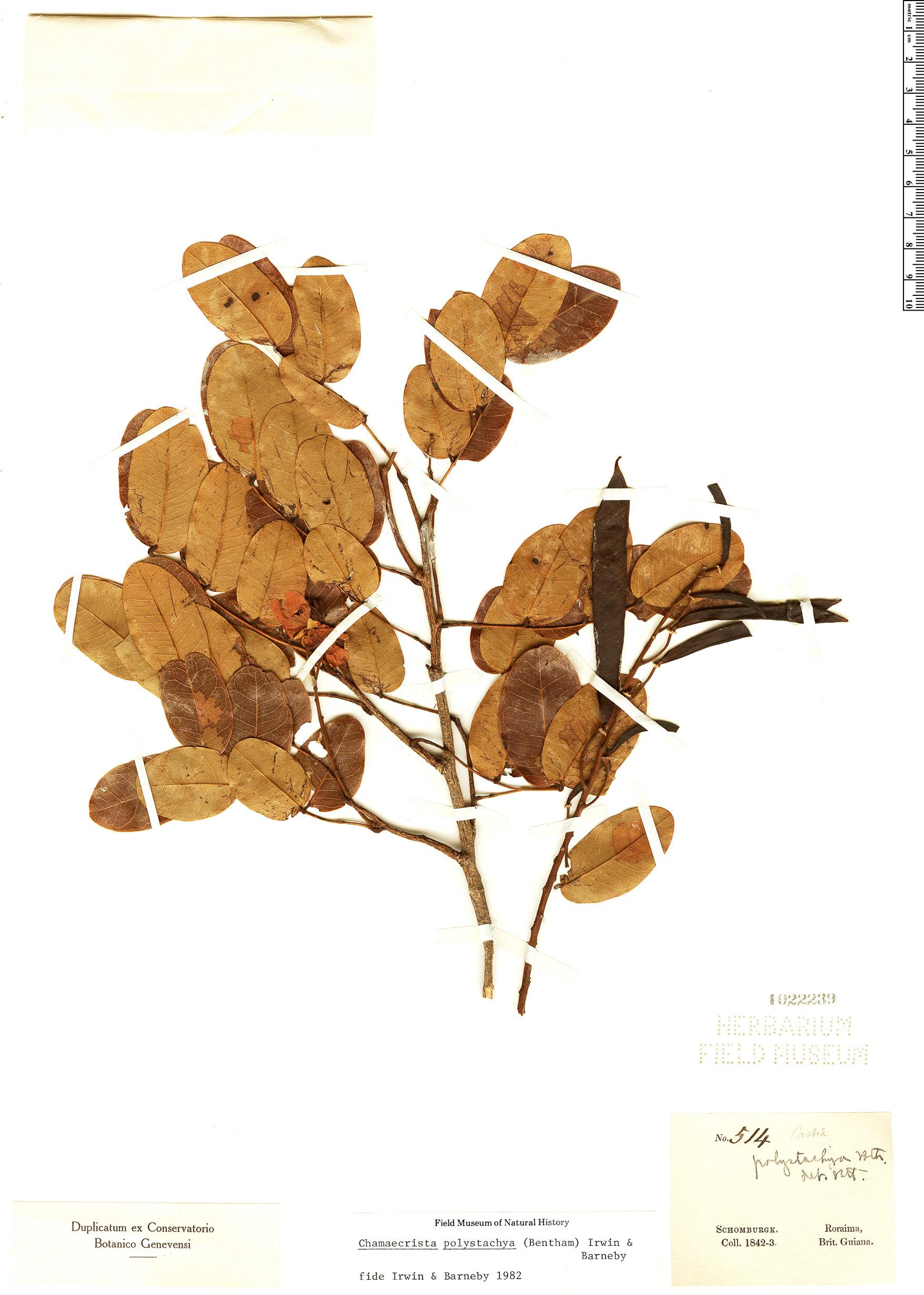 Specimen: Chamaecrista polystachya