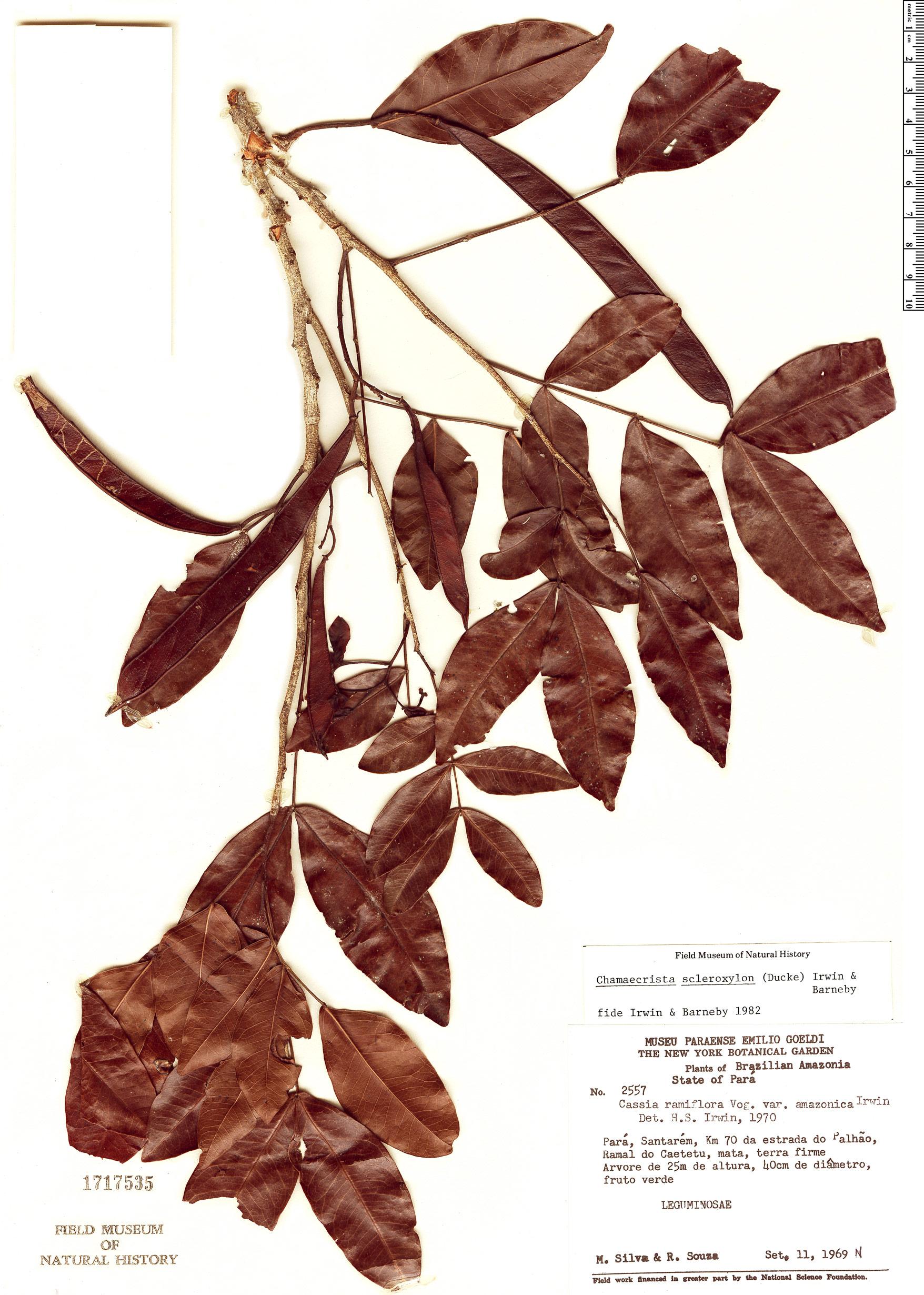 Specimen: Chamaecrista scleroxylon