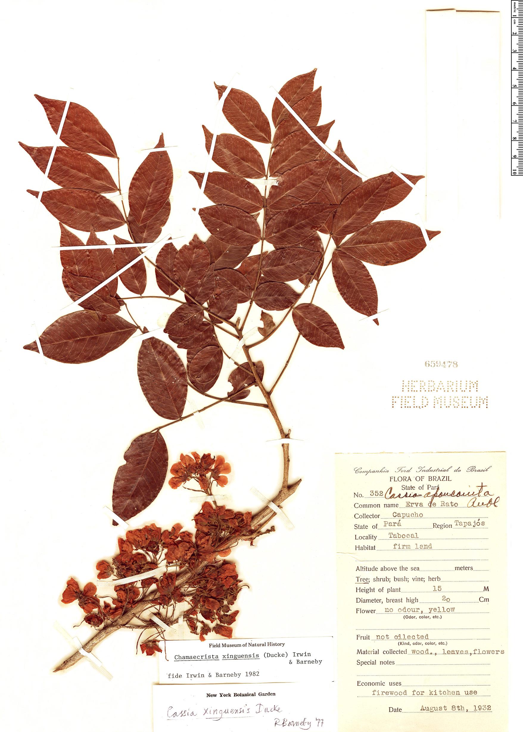 Specimen: Chamaecrista xinguensis