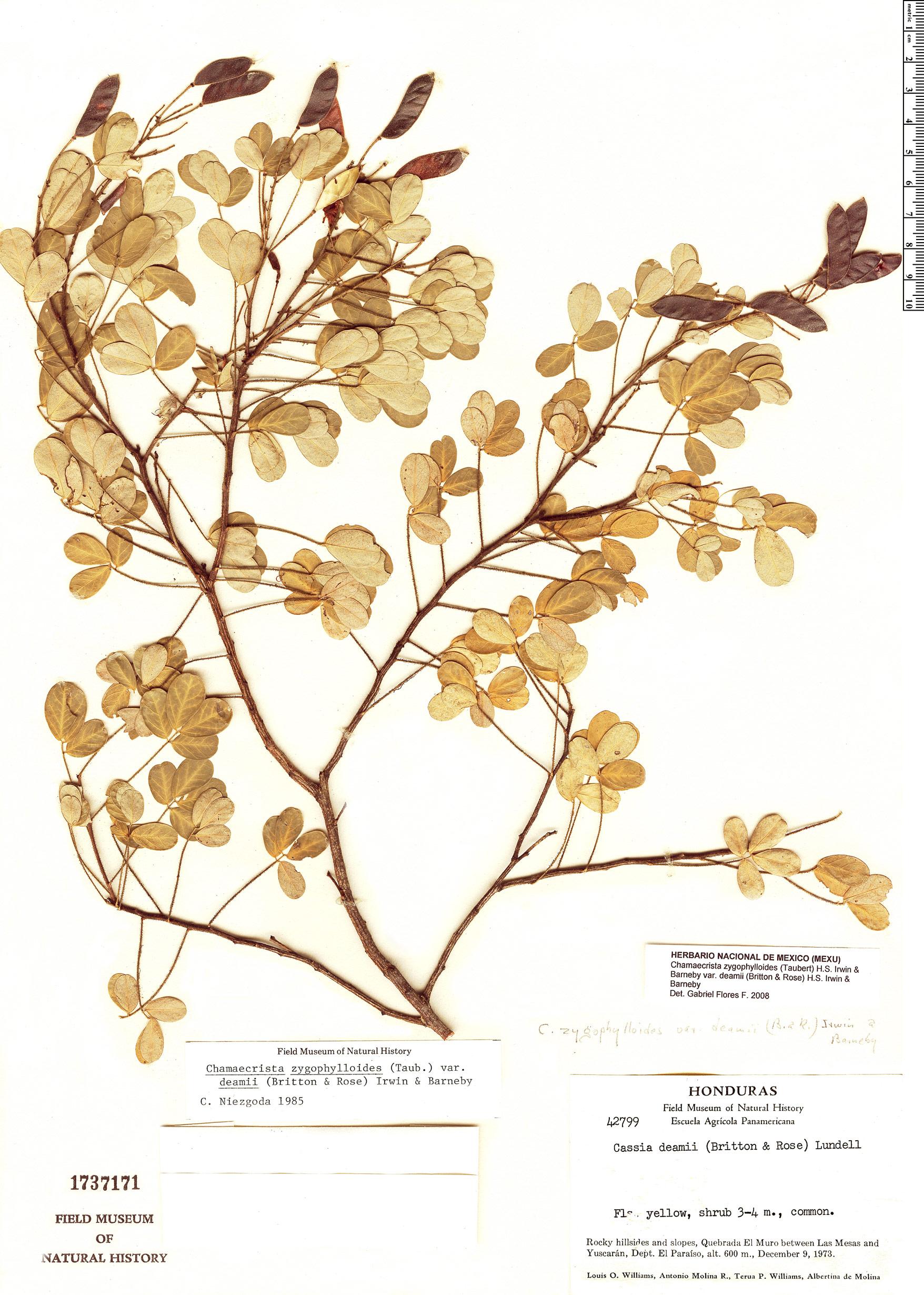 Specimen: Chamaecrista zygophylloides