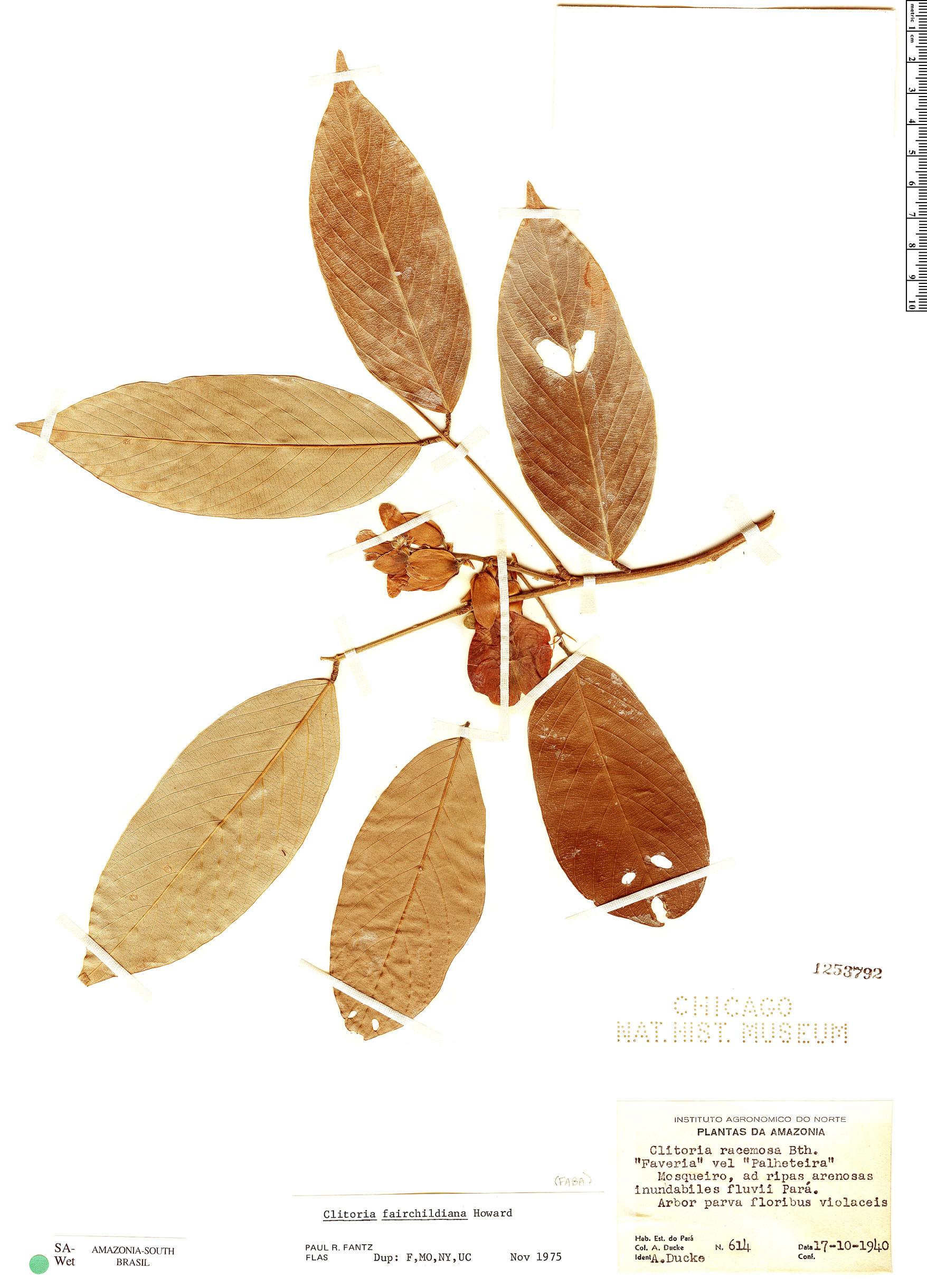 Specimen: Clitoria fairchildiana