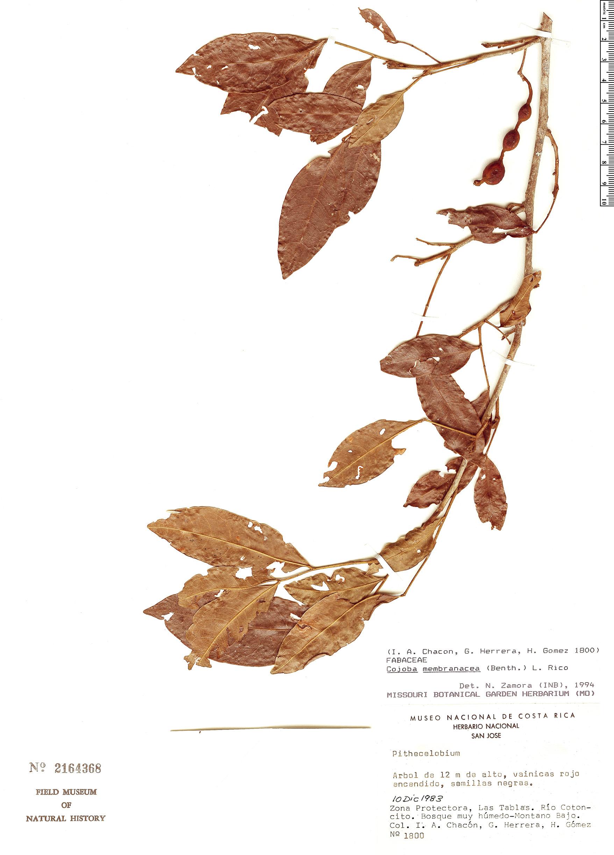 Specimen: Cojoba membranacea