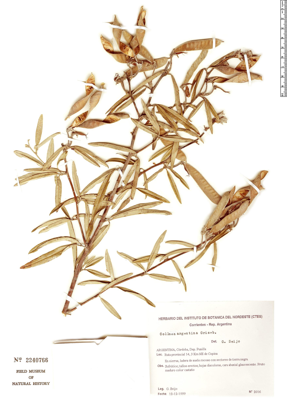 Specimen: Collaea argentina
