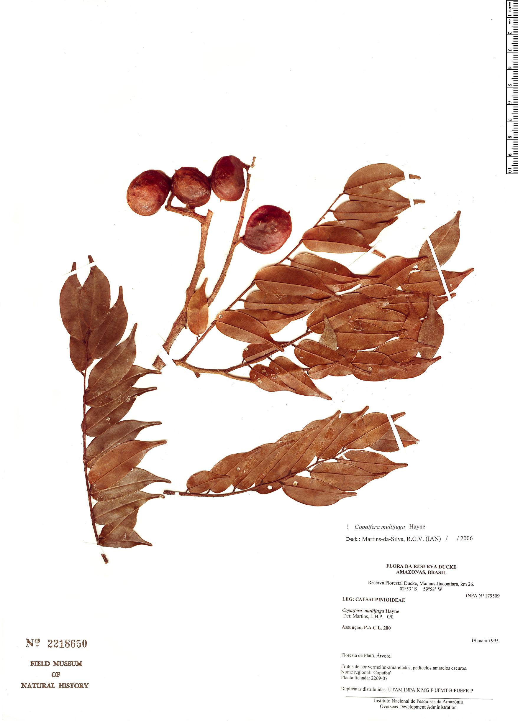 Specimen: Copaifera multijuga