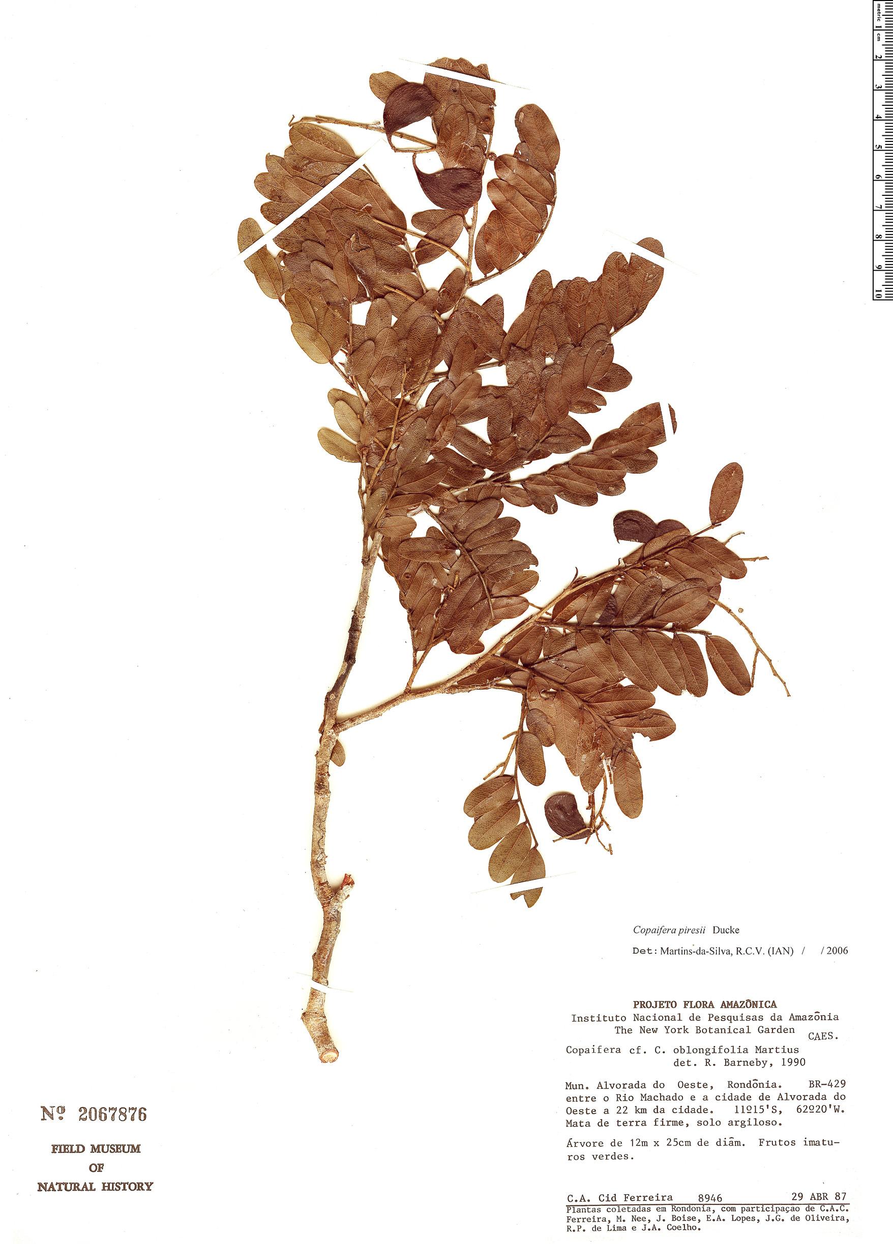 Specimen: Copaifera piresii