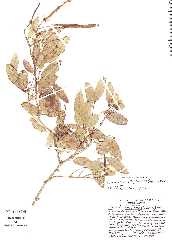 Espécime: Coursetia elliptica
