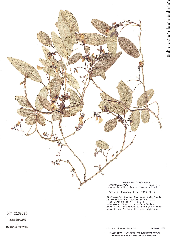 Specimen: Coursetia elliptica