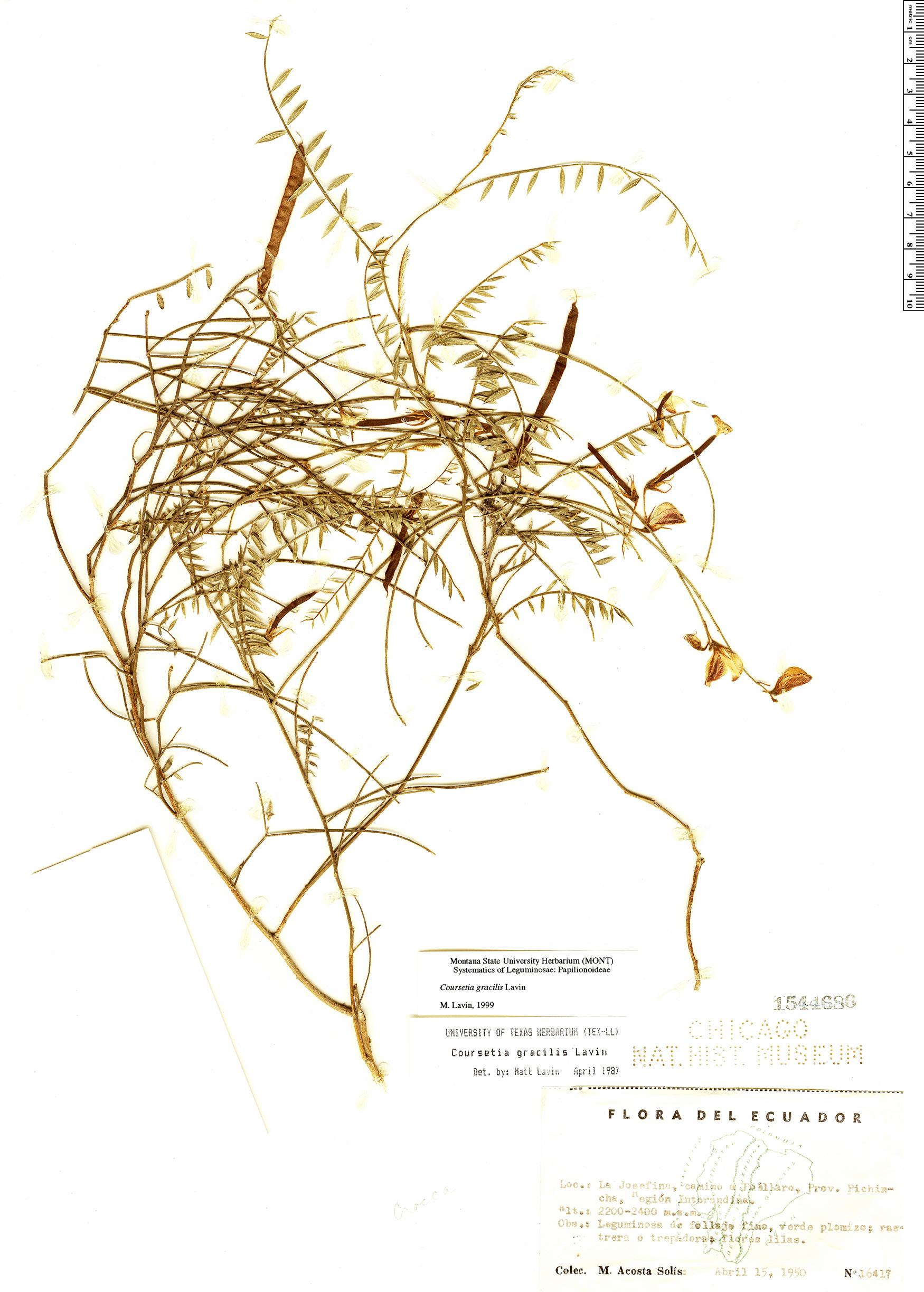 Specimen: Coursetia gracilis