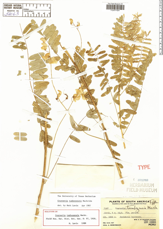 Espécime: Coursetia tumbezensis