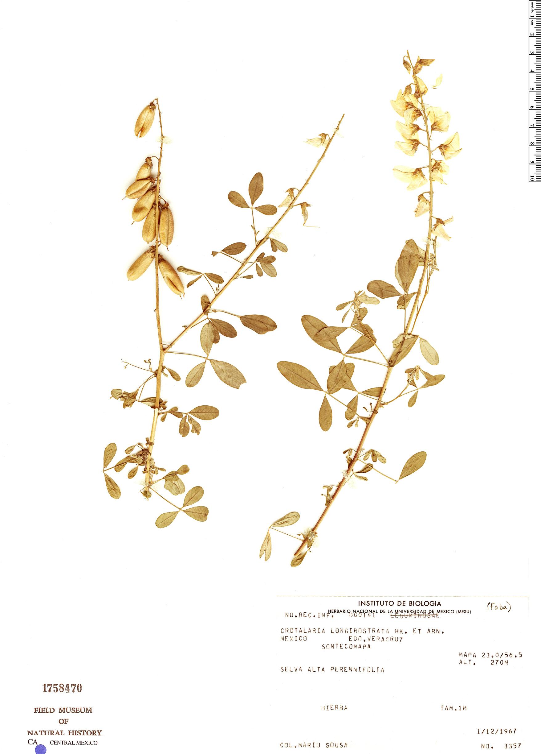 Crotalaria longirostrata image