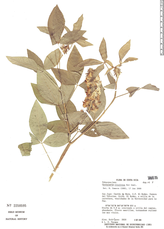 Specimen: Crotalaria vitellina