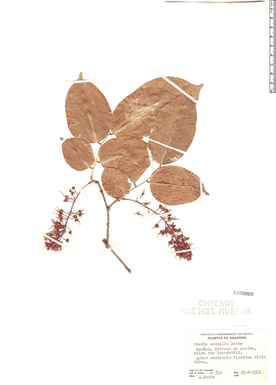 Specimen: Crudia aequalis