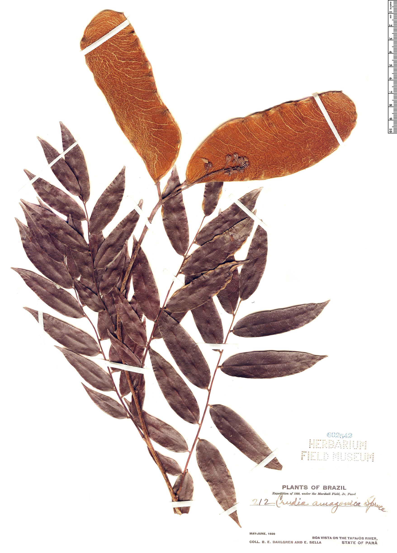 Specimen: Crudia amazonica