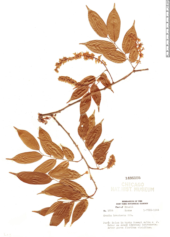 Specimen: Crudia bracteata