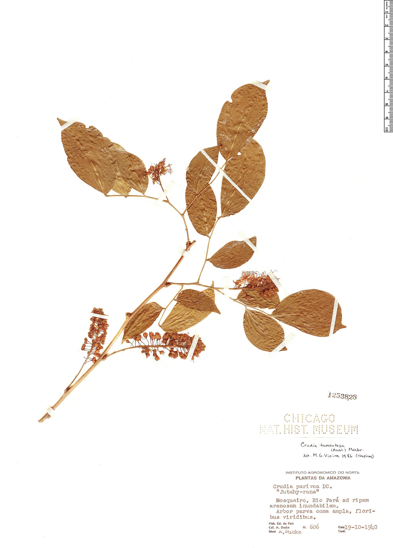 Espécime: Crudia tomentosa