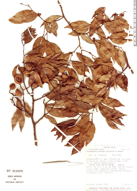 Specimen: Cynometra retusa