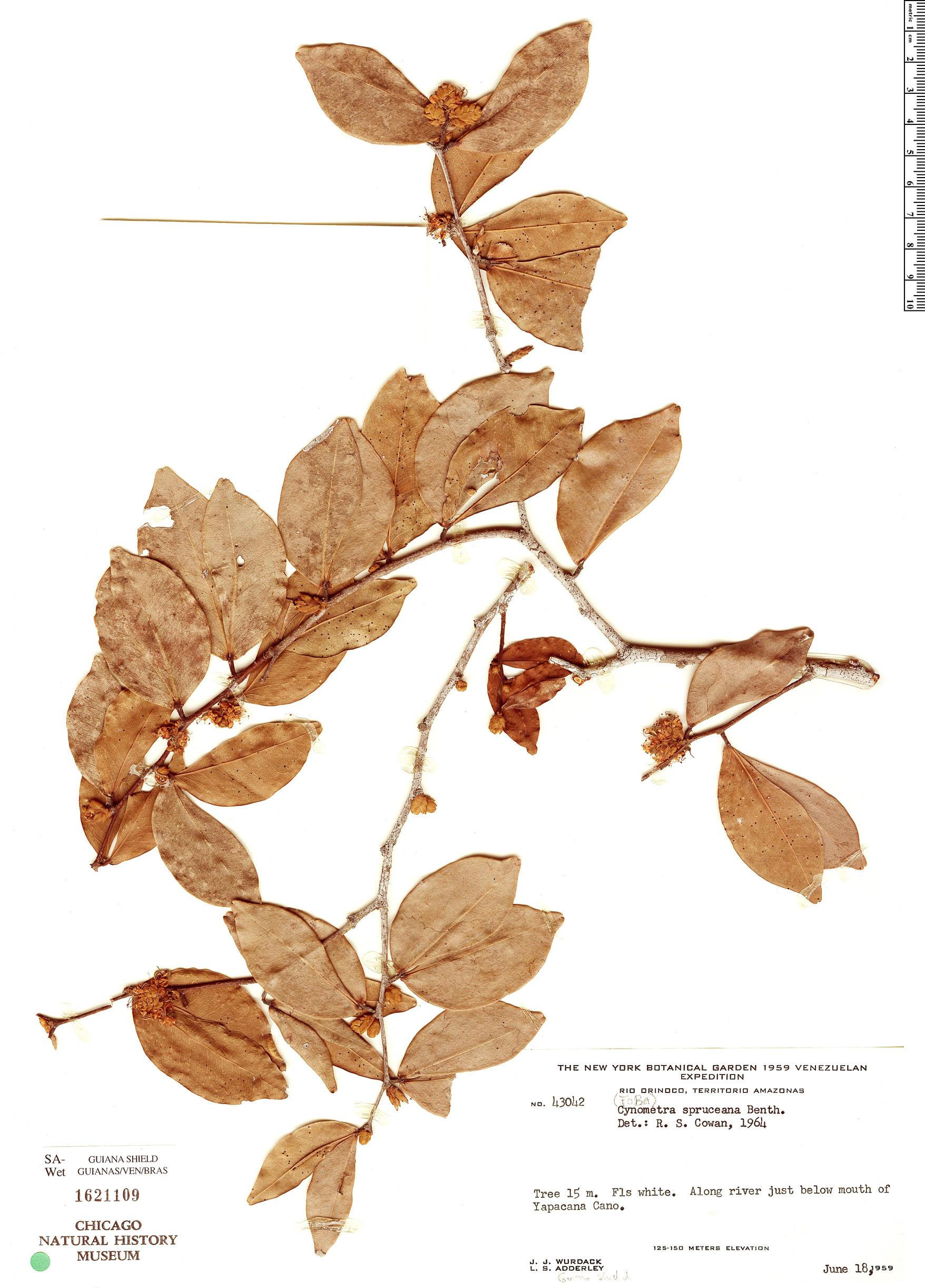 Specimen: Cynometra spruceana