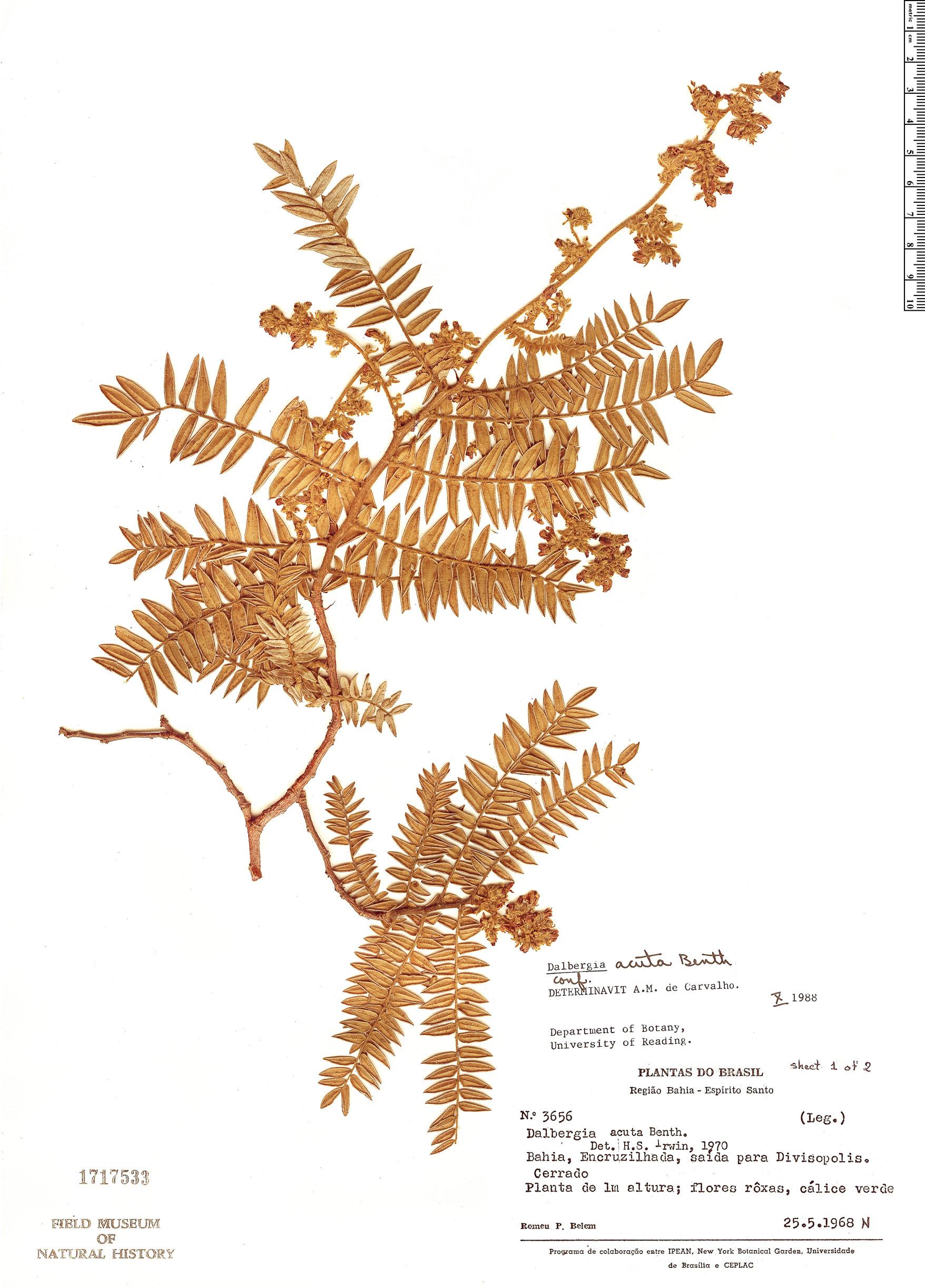 Specimen: Dalbergia acuta