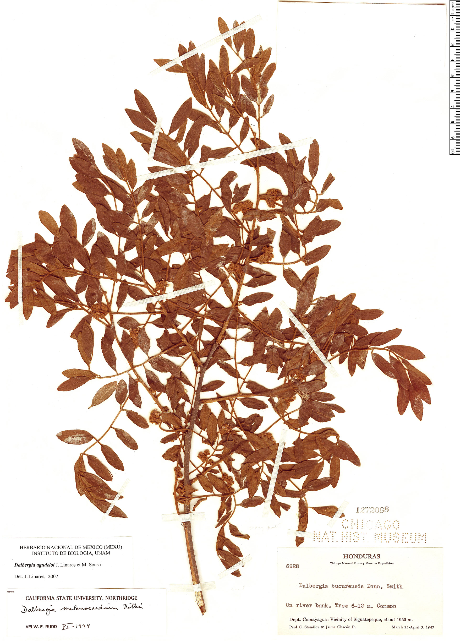Specimen: Dalbergia agudeloi