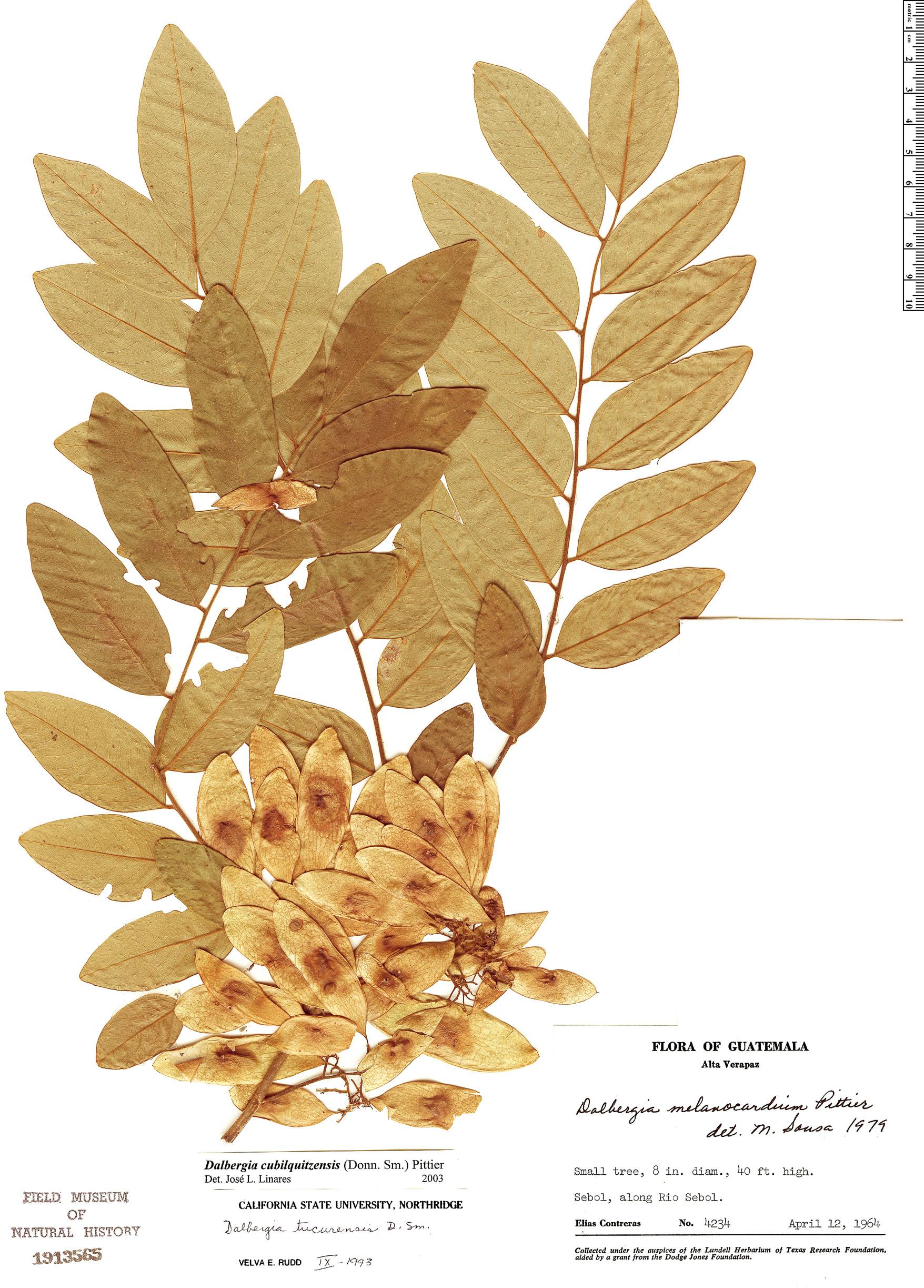 Specimen: Dalbergia cubilquitzensis