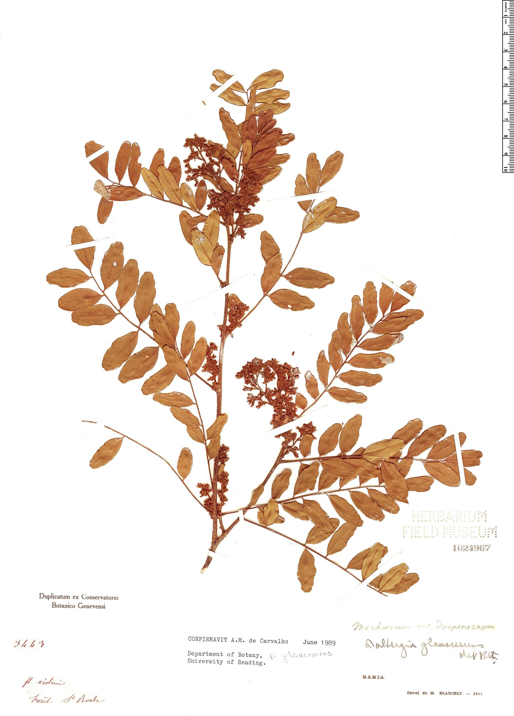Espécimen: Dalbergia glaucescens