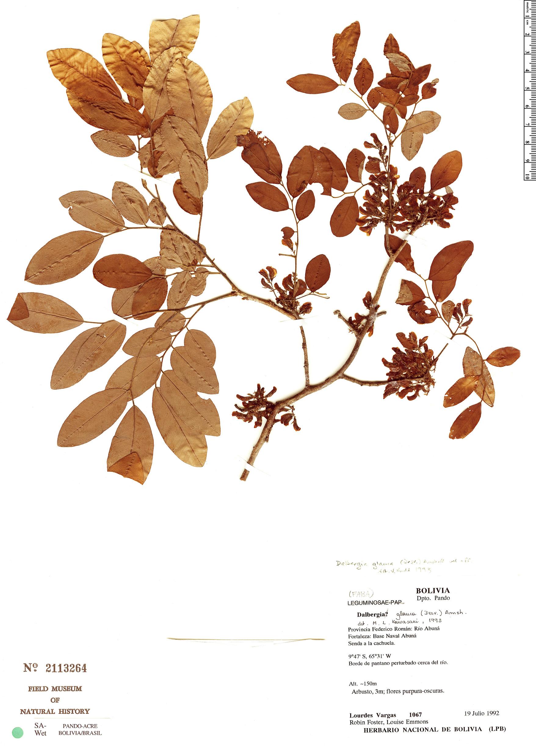 Specimen: Dalbergia glauca