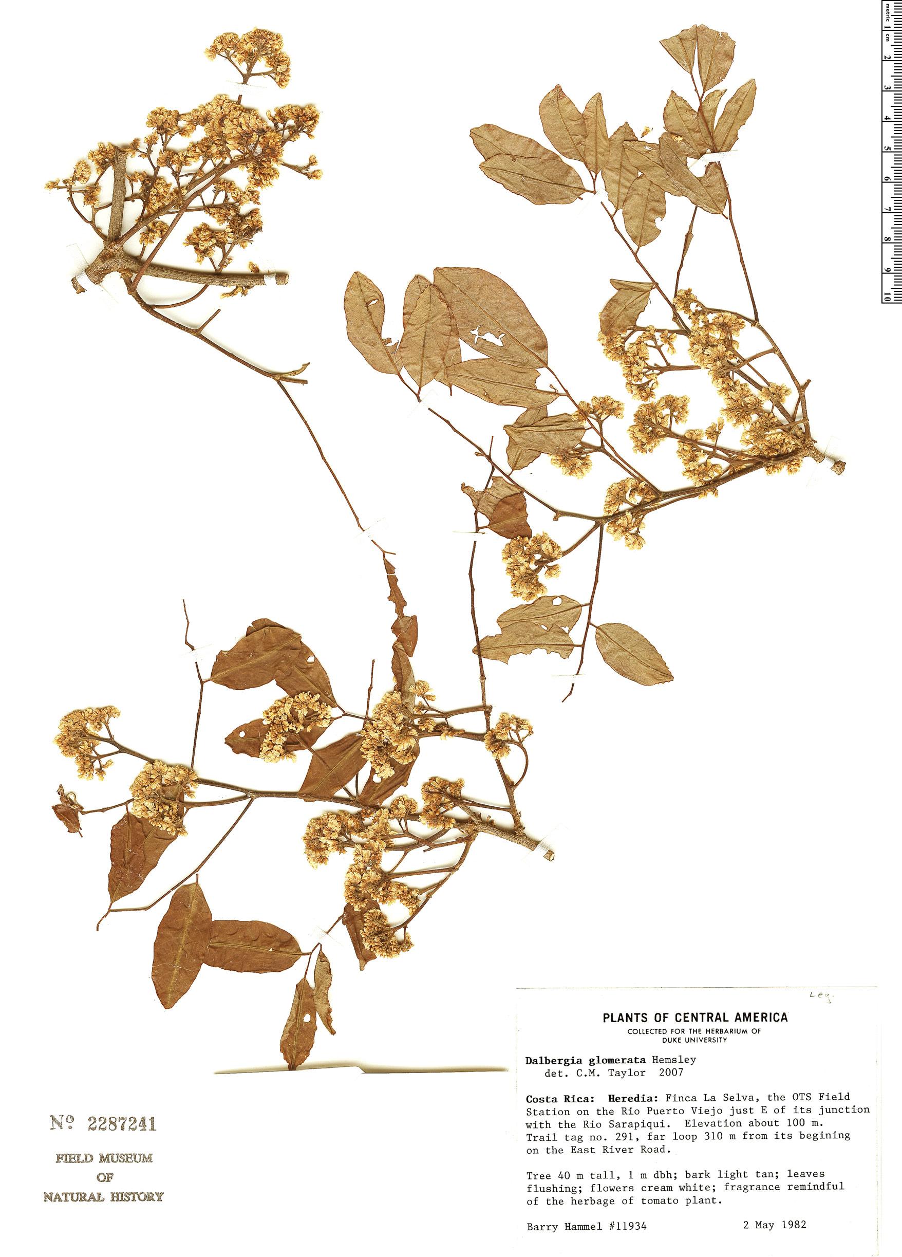 Specimen: Dalbergia glomerata