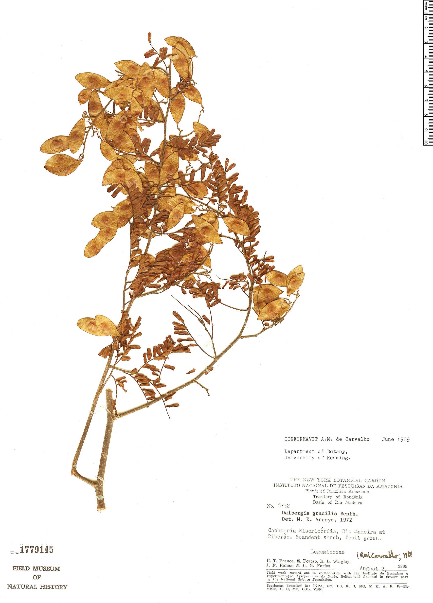 Specimen: Dalbergia gracilis