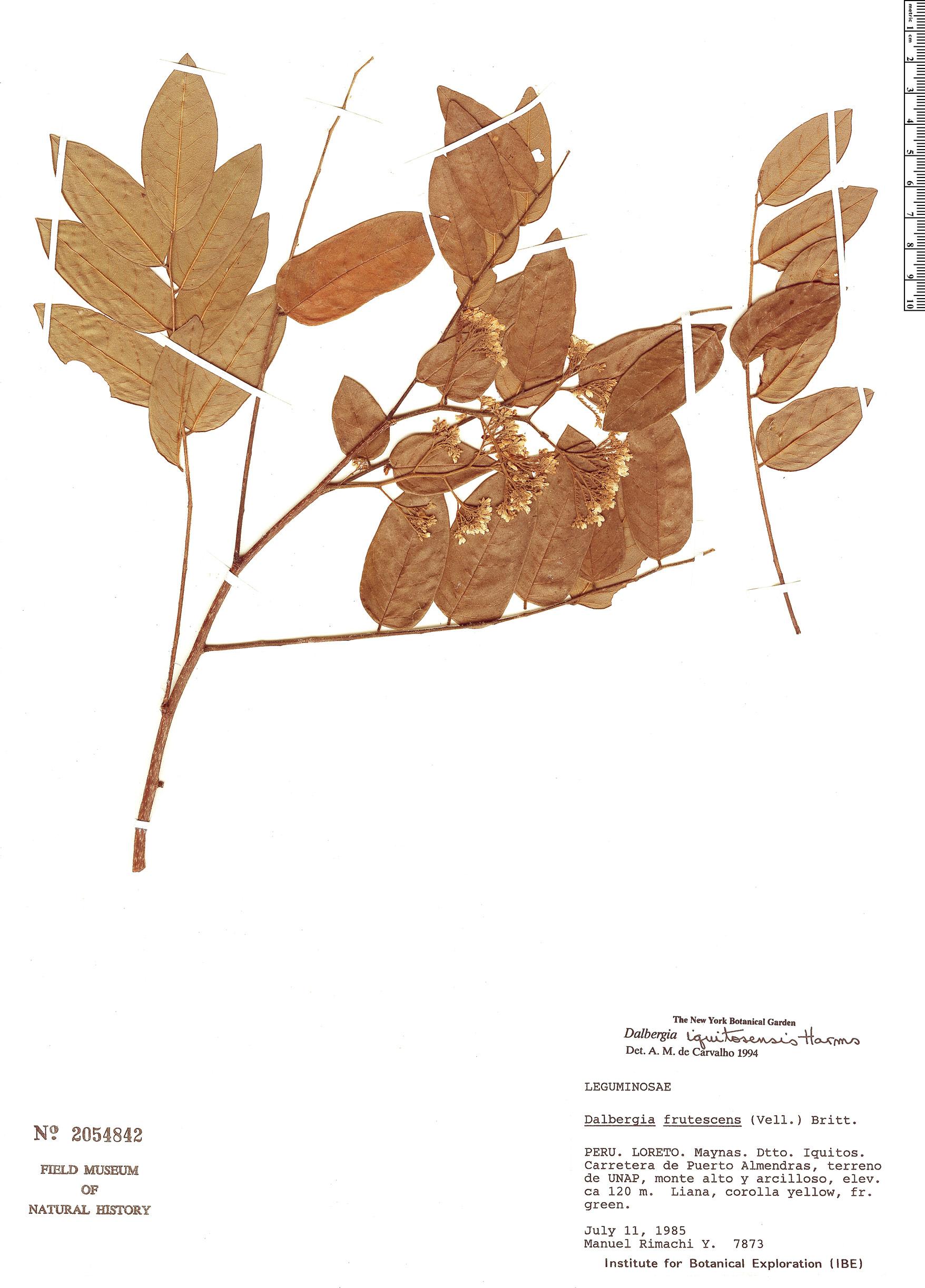 Specimen: Dalbergia iquitosensis